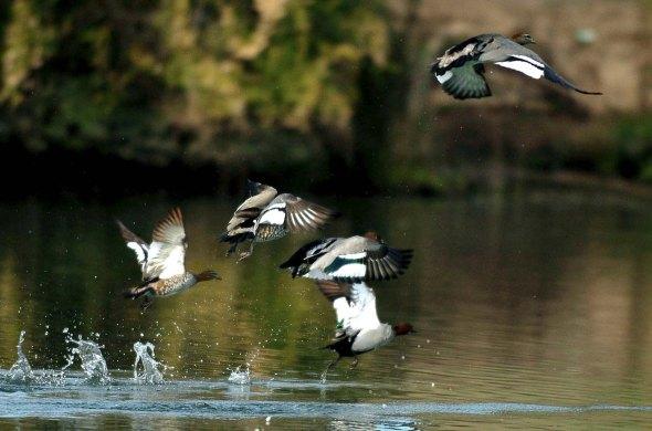 Ducks in flight on the Hawkesbury River.