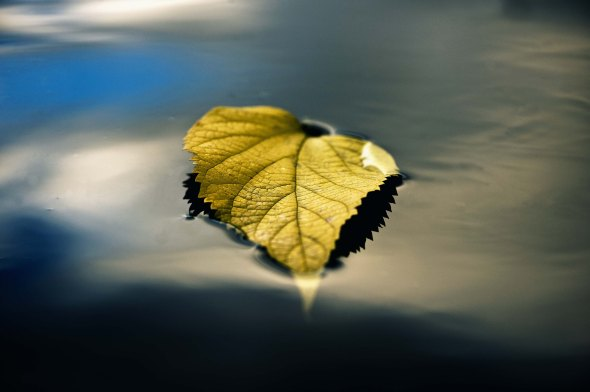 Autumn leaf floating on the surface of the Hawkesbury River at Hanna Park, North Richmond.